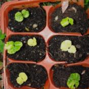 Freaky seedlings, white (albino), yellow, yellow, and v