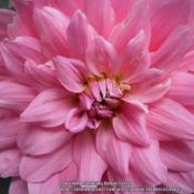 Location: Tenterfield NSW AustraliaDate: 2014-02-27'Pink'