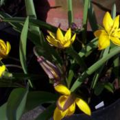 Location: Wallsend, Tyne and Wear, EnglandDate: 2003-03-23Tulipa neustruevae