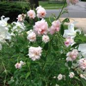 Location: Front Garden, Maryland Zone 7aDate: 2015-02-02A spray of Spray Cecile Brunner