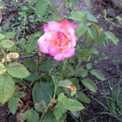 Location: Timken, KSDate: 2014-07-18I googled most perfumed rose.  This came up, my name is Sheila, s