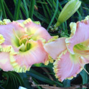 Photo Courtesy of Jammin's Daylily Garden . Used with P