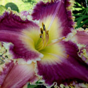 Photo Courtesy of Jammin's Daylily Garden . Used with Permission.