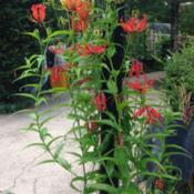 Location: Front Garden, Maryland Zone 7aDate: 8/4/2014Gloriosa Lily Himalayan Select
