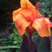 Location: Front Garden, Maryland Zone 7aDate: 8/11/2014Canna Wyoming bloom