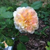 Location: Front Garden, Maryland Zone 7aDate: 7/15/2014Rose South Africa bloom, pink-tinged