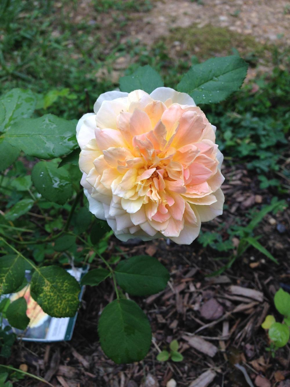 Photo of Rose (Rosa 'South Africa') uploaded by lovesblooms