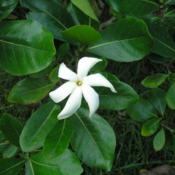 Location: Hakalau, Hawai'iDate: 4000-02-04Flower & leaves.
