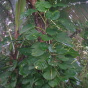 Location: Wa'a Wa'a Kipuka, Lower Puna, Hawai'iDate: 4000-02-04Maturing young plant.