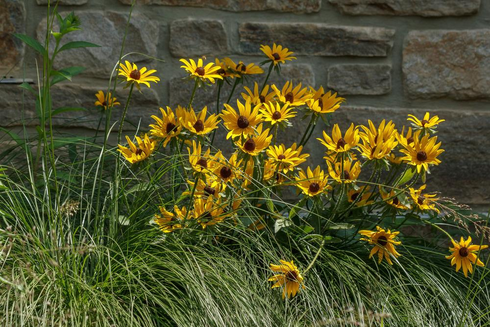 Photo of Black Eyed Susans (Rudbeckia) uploaded by admin