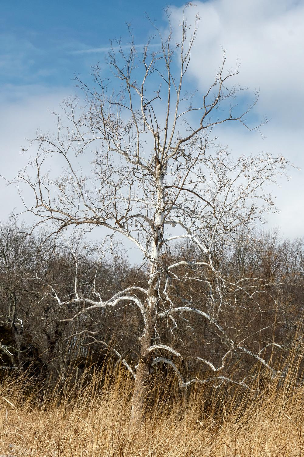 Photo of American Sycamore (Platanus occidentalis) uploaded by admin