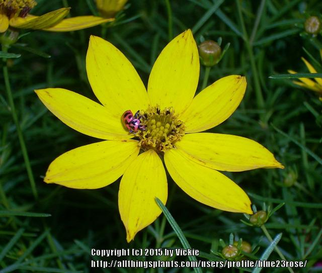 Photo of Threadleaf Coreopsis (Coreopsis verticillata 'Zagreb') uploaded by blue23rose