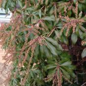 Location: Front Garden, Maryland Zone 7aDate: 2015-02-03Pieris japonica in winter