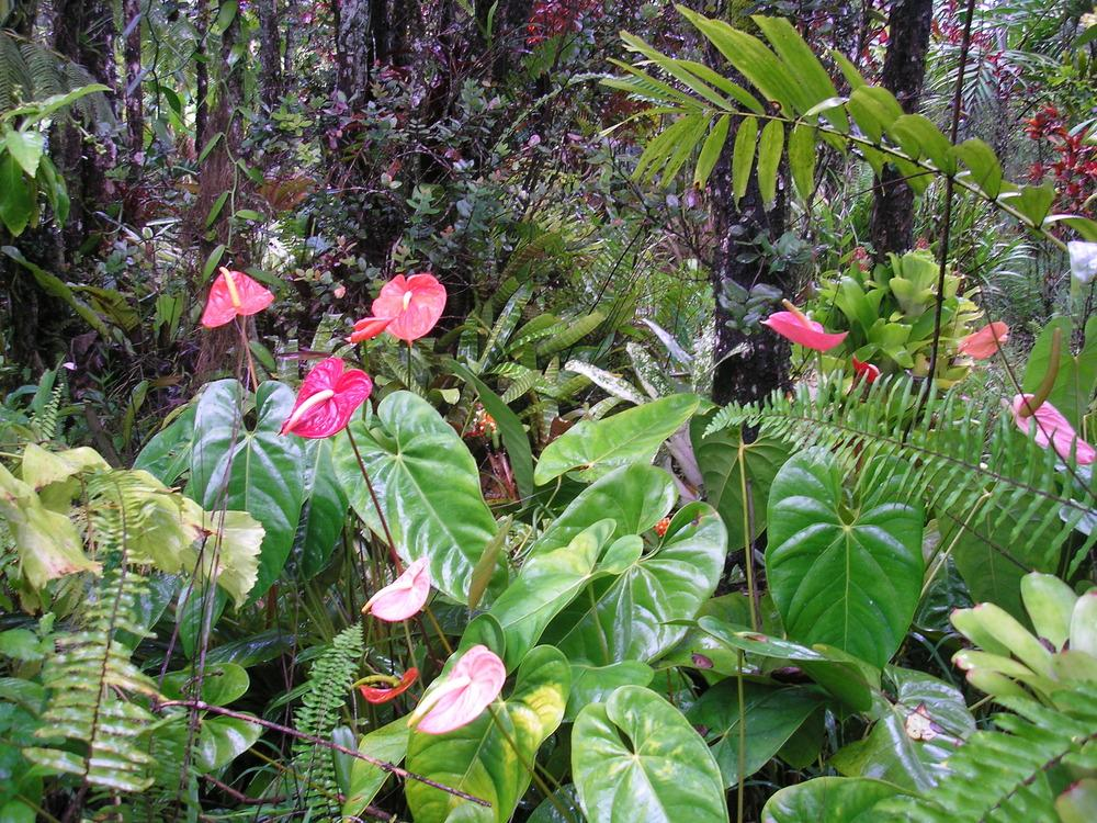 Photo of Anthuriums (Anthurium) uploaded by Metrosideros