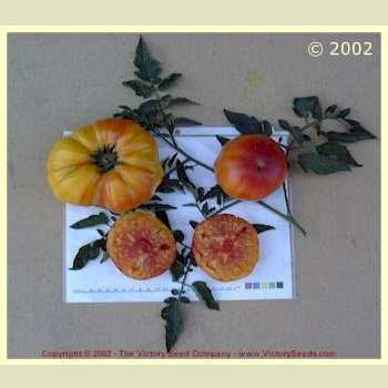 Photo of Tomato (Solanum lycopersicum 'Big Rainbow') uploaded by MikeD