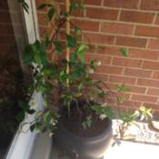Location: Front Garden, Maryland Zone 7aDate: 5/31/2014potted Confederate Jasmine end of spring bloom