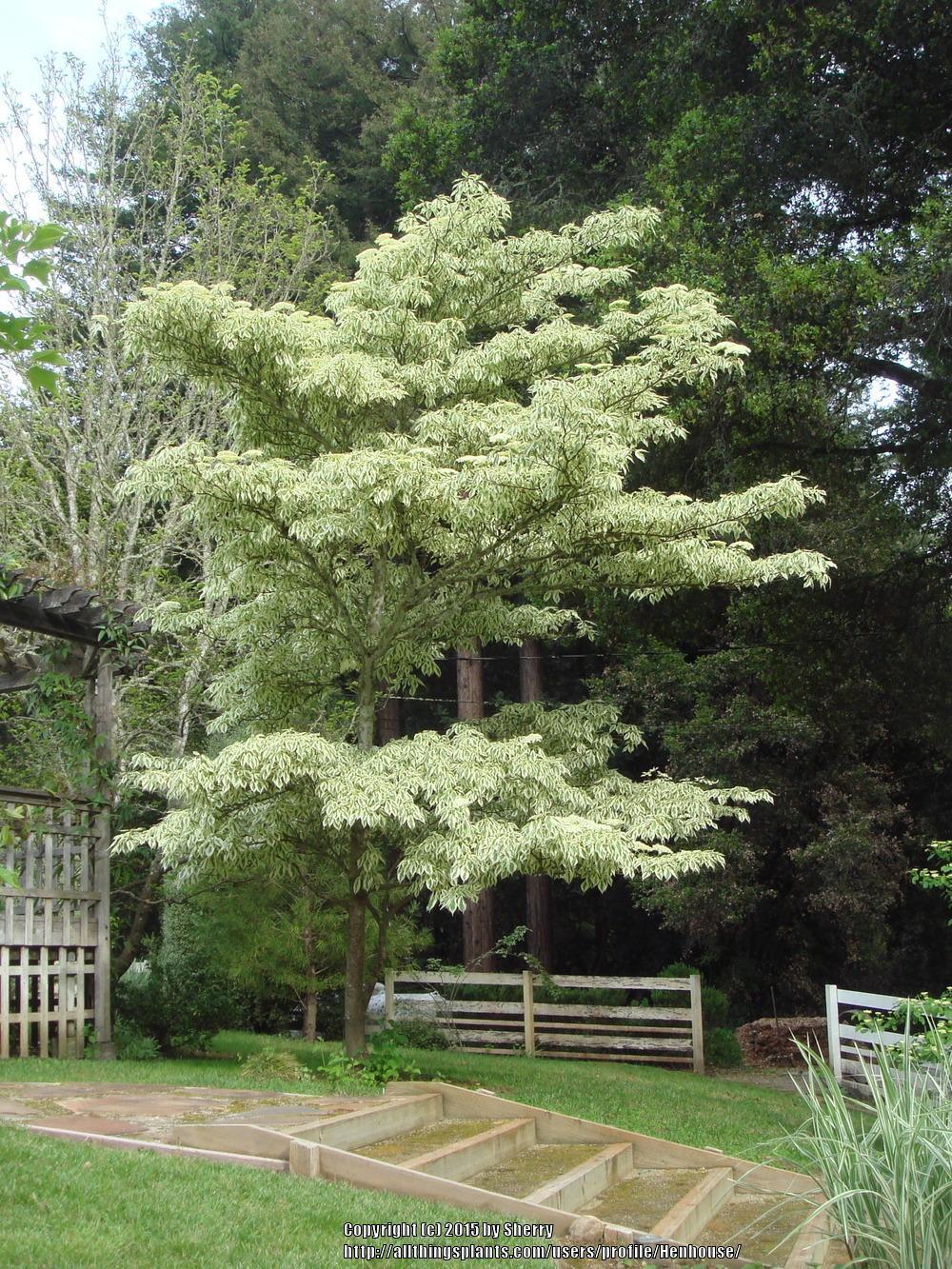 Dogwoods: Plant Care and Collection of Varieties - Garden.org