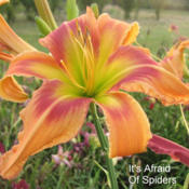 Photo Courtesy of Clement Daylily Gardens . Used with P