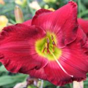 Photo Courtesy of Lewis Daylily Garden . Used with Permission