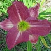 Photo Courtesy of Lobo Rose and Daylily Gardens. Used with Permis