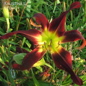 Photo Courtesy of Clement Daylily Gardens . Used with Permission.