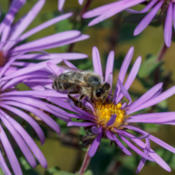 Location: Apis mellifera (honey bee) on Symphyotrichum novae-angliae (New England aster)Photo courtesy of: Tom Potterfield