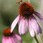 Location: Apis mellifera (honey bee) visiting a late-blooming Echinacea purpurea (purple coneflower)Photo courtesy of: Tom Potterfield