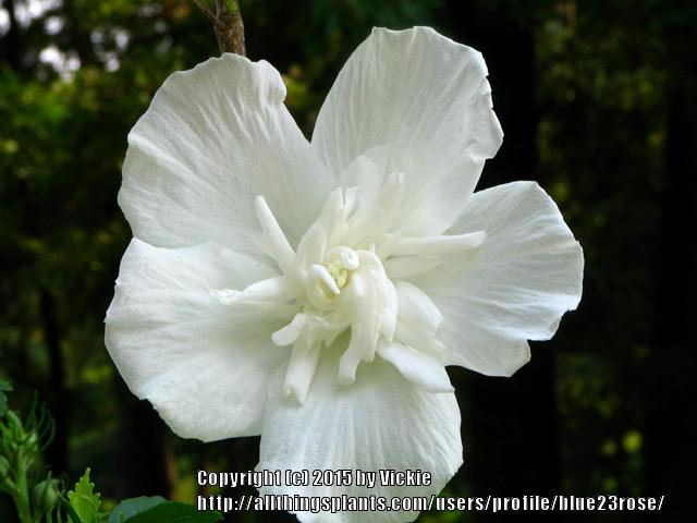 Rose Of Sharon Hibiscus Syriacus White Chiffon In The Roses Of
