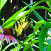 Location: central IllinoisDate: 2011-07-16w/ Swallowtail