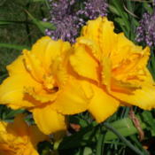 Location: Dreamy Daylilies - Chatham-Kent, Ontario   5bDate: 2011-07-24
