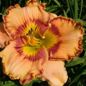 Photo Courtesy of Ladybug Daylilies . Used with Permission