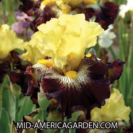 Photo of Tall Bearded Iris (Iris 'Stole the Show') uploaded by Calif_Sue