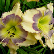 Photo Courtesy of Ladybug Daylilies . Used with Permis