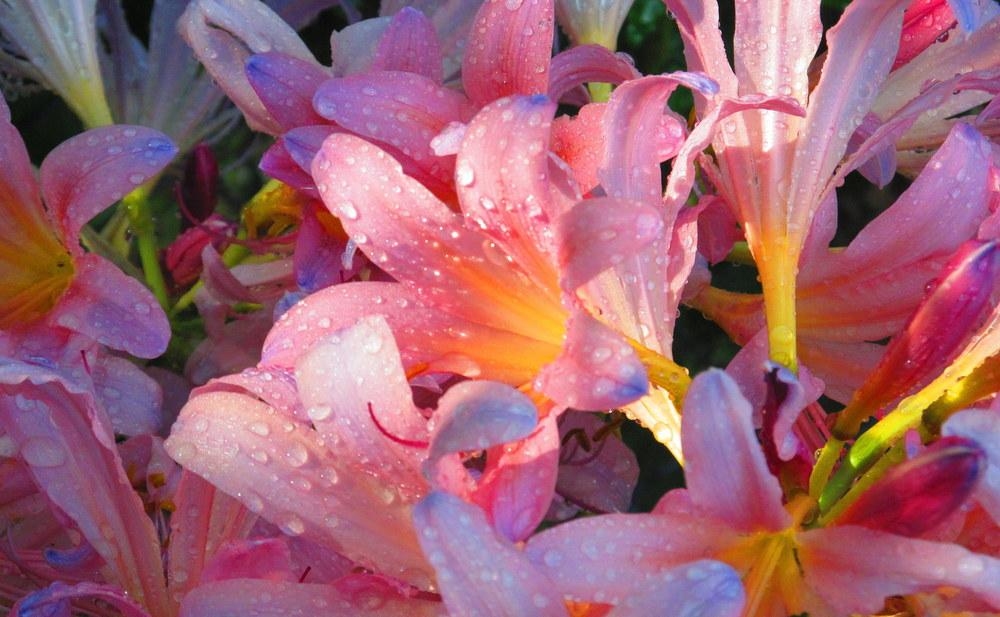 Photo of Surprise Lily (Lycoris squamigera) uploaded by jmorth