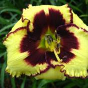 Photo Courtesy of Kennesaw Mountain Daylily Gardens. Used with Pe