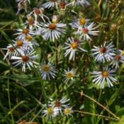 Location: Symphyotrichum prenanthoides (crooked-stem or zig-zag aster); stem pubescent in lines and leaves narrowed abruptly to winged petiole with auriculate-clasping basePhoto courtesy of: Tom Potterfield