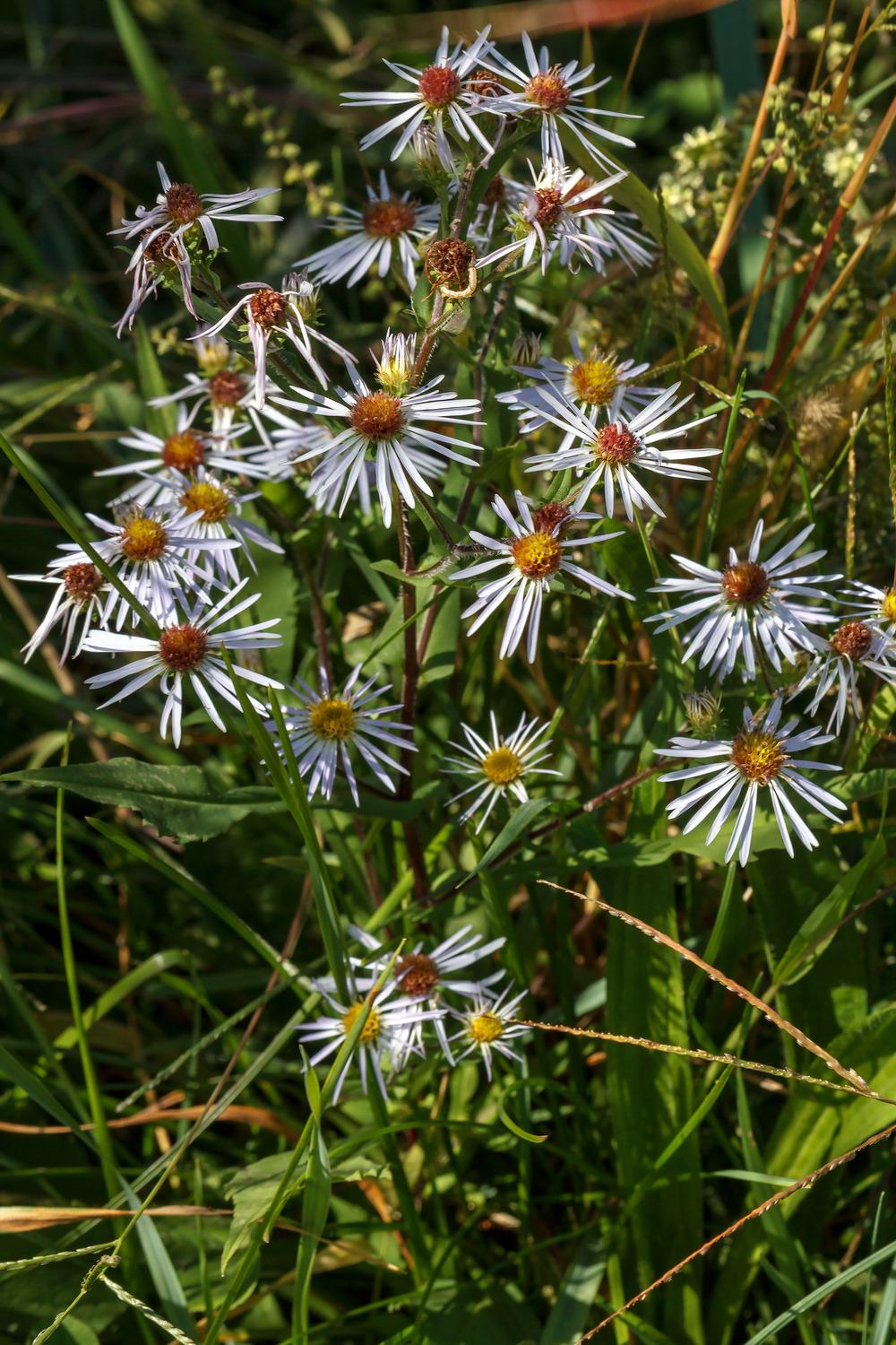 Photo of Crookedstem aster (Symphyotrichum prenanthoides) uploaded by admin