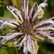 Location: Monarda fistulosa (wild bergamot) with spanworm or looper, likely Chlorochlamys chloroleucaria (blackberry looper)Photo courtesy of: Tom Potterfield