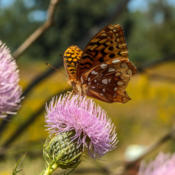 Location: Speyeria cybele (great spangled fritillary) on Cirsium discolor (field thistle), late seasonPhoto courtesy of: Tom Potterfield