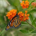 ATP Podcast #95: Save the Monarchs: Grow Milkweed!