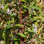 Location: Symphyotrichum puniceum (purple-stemmed aster), stem hairyPhoto courtesy of: Tom Potterfield