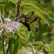 Location: Hemaris diffinis (snowberry clearwing moth) nectaring at Monarda fistulosa (wild bergamot)Photo courtesy of: Tom Potterfield