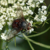 Location: Juriniopsis adusta (tachnid fly), a parasite of leps including Epargyreus clarus (silver-spotted skipper), on Daucus carota (Queen Anne's lace)Photo courtesy of: Tom Potterfield