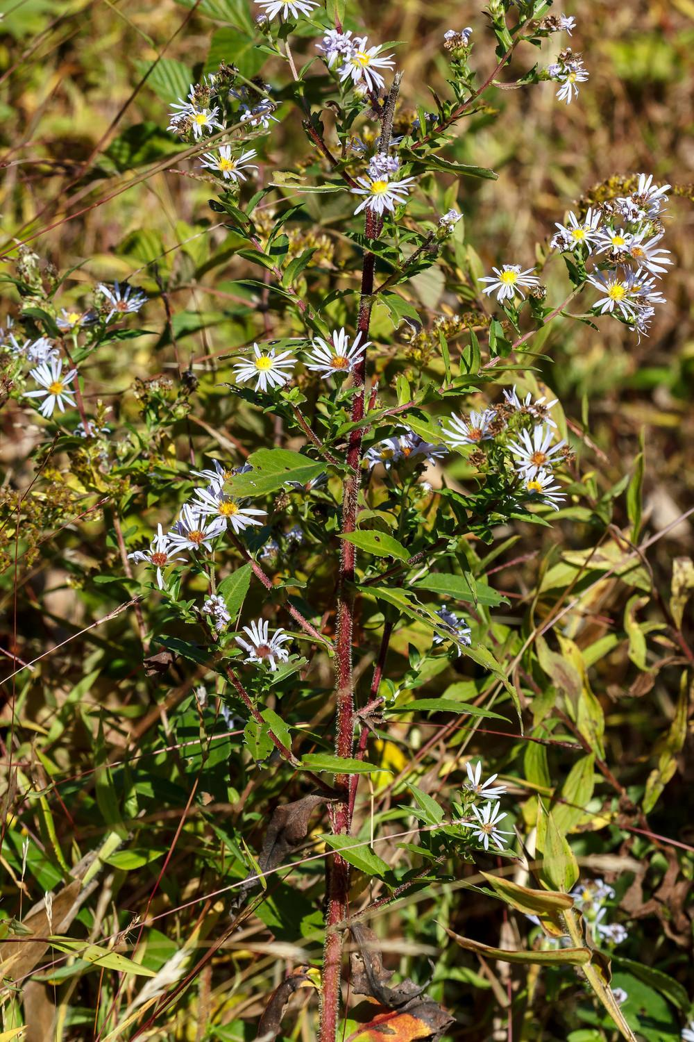 Photo of Purple-stemmed Aster (Symphyotrichum puniceum) uploaded by admin