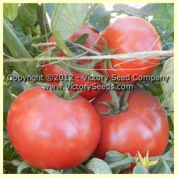 Photo of Tomato (Solanum lycopersicum 'Brandywine') uploaded by MikeD