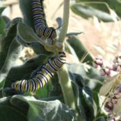 Location: Asclepias eriocarpa Monarch caterpillars 1Date: 2014-07-13Credit USFWS