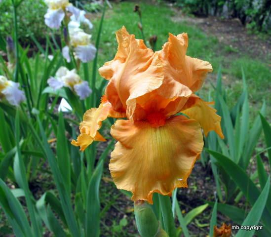 Photo of Tall Bearded Iris (Iris 'Esmeralda') uploaded by MargieNY