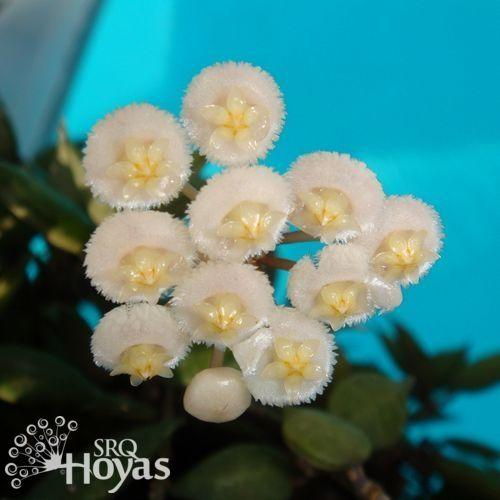 Photo of Wax Plant (Hoya lacunosa 'Langkawi Island') uploaded by SRQHoyas