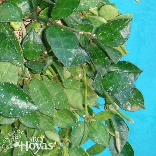 Photo of Hoya (Hoya lacunosa) uploaded by SRQHoyas