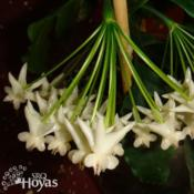 Location: SRQHoyasDate: 2015-02-11Hoya lockii SRQ 3229